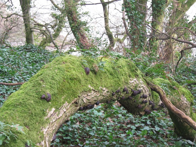 Laugharne mossy tree