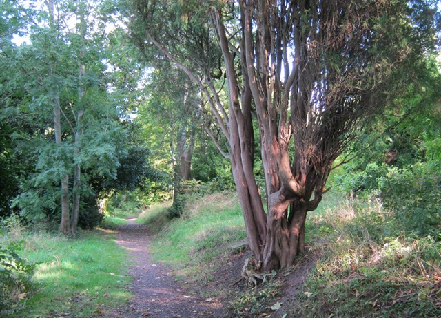 Arnos Vale twisted tree