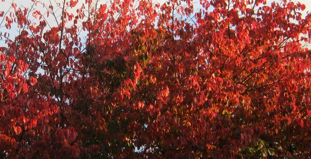 Cherry red cherry tree cr Judy Darley