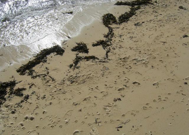 Gyllenvase footprints cr Judy Darley