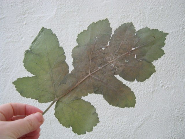 Pressed leaf cr Judy Darley