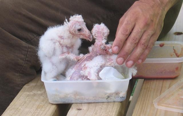 Baby birds cr Judy Darley