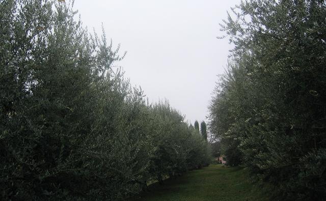 Azienda Agricola Tenuta degli Angeli olive trees cr Judy Darley