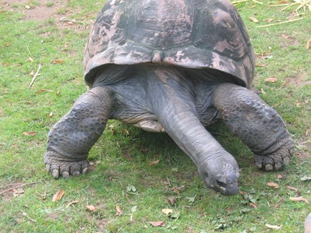 Bristol Zoo giant tortoise cr Judy Darley