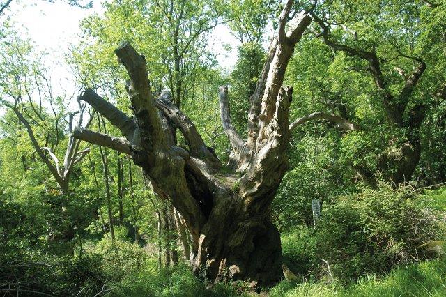 Oak by Frank Drake