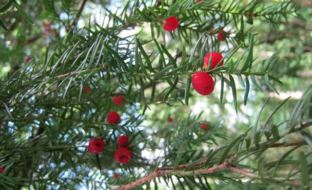 Common Yew - berries cr Judy Darley