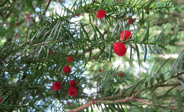 Common Yew - berries cr Judy Darley