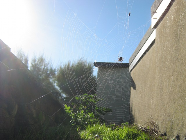 Lizard Point cobweb cr Judy Darley