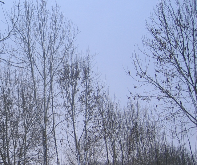 Midwinter trees cr Judy Darley