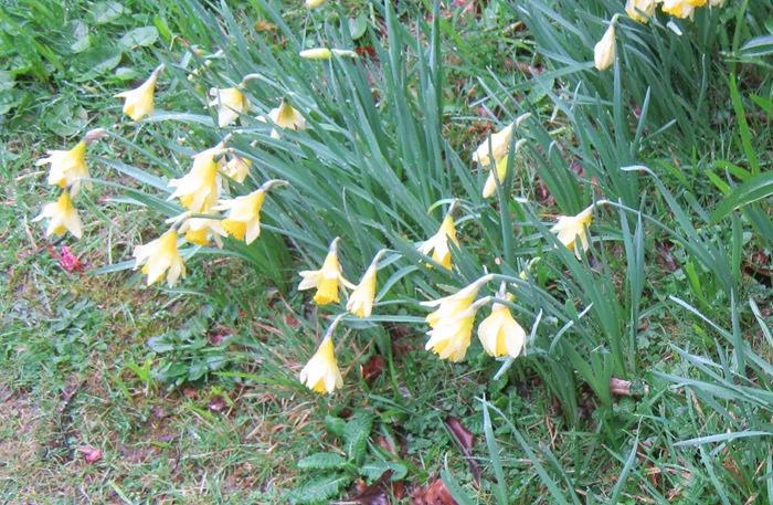 Daffodils cr Judy Darley