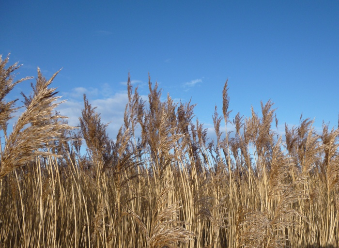 Severn River reed beds cr Judy Darley