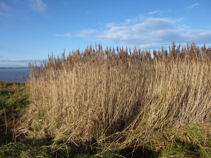 Severn River reeds cr Judy Darley
