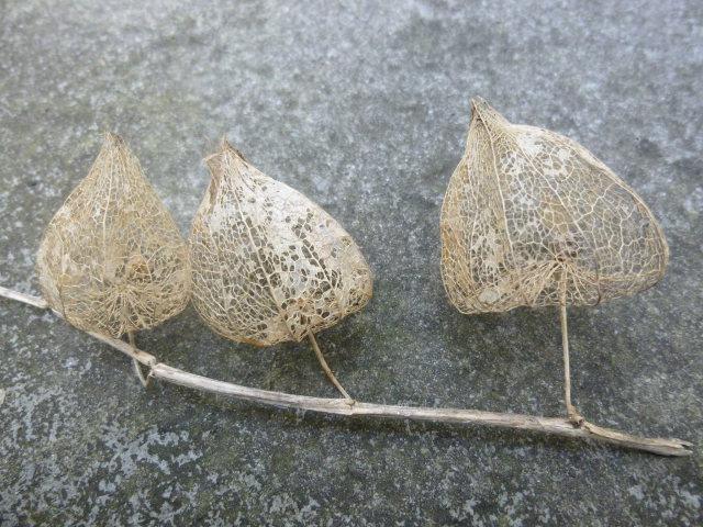 Seed pods cr Judy Darley