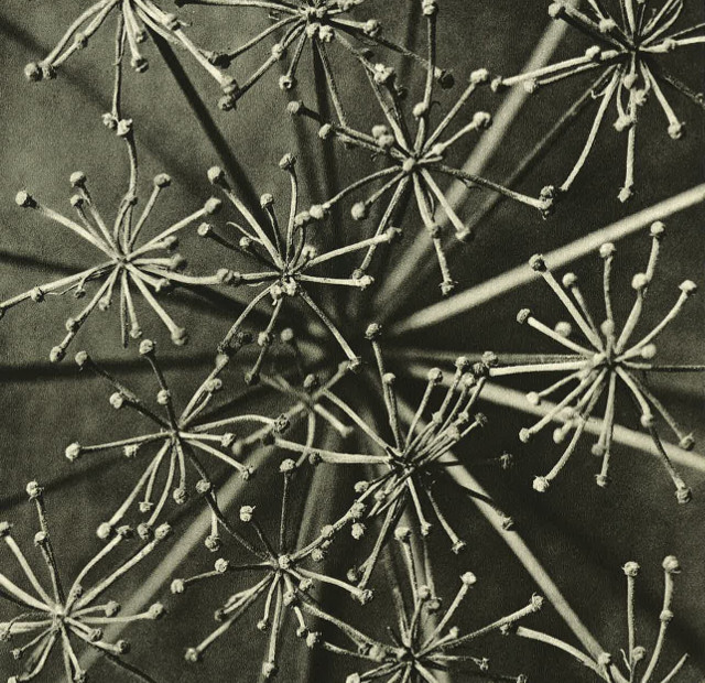 Art Forms in Nature1 Part of Wundergarten der Natur, 1932 © Estate of Karl Blossfeldt, Courtesy of Hayward Touring