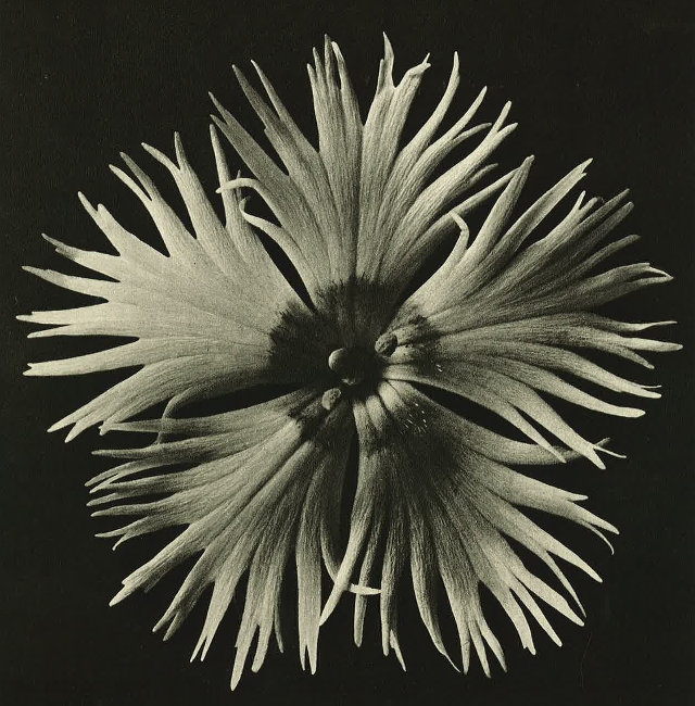 Art Forms in Nature2 Part of Wundergarten der Natur, 1932 © Estate of Karl Blossfeldt, Courtesy of Hayward Touring