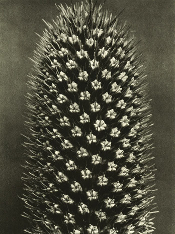 Art Forms in Nature4 Part of Wundergarten der Natur, 1932 © Estate of Karl Blossfeldt, Courtesy of Hayward Touring