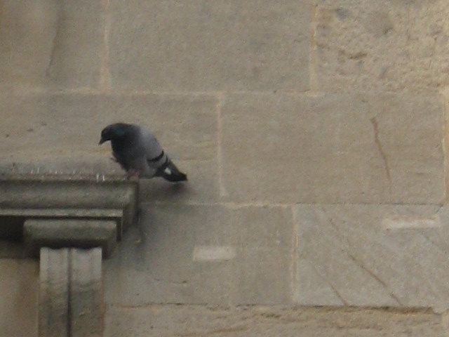 Pigeon cr Judy Darley