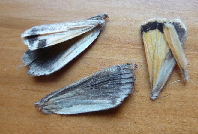 Moth wings cr Judy Darley