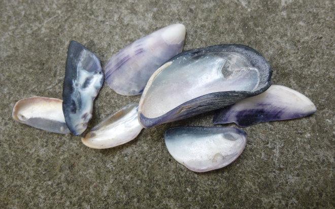 Mussel shells cr Judy Darley