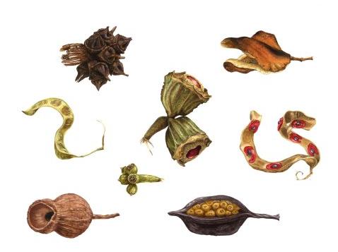 Australian Seedpods by Gill Martin