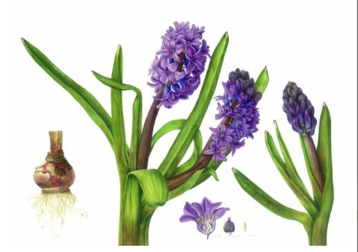 Hyacinth watercolour by Gill Martin