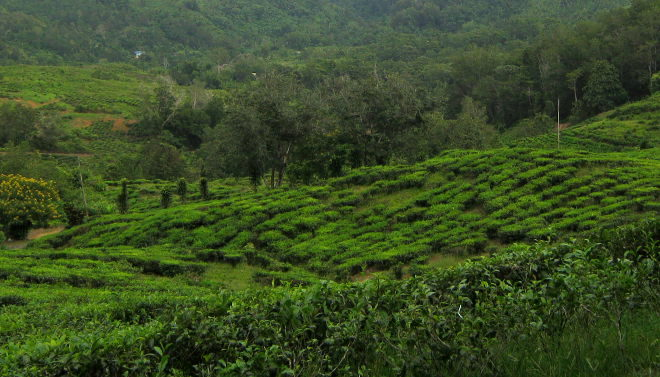 Tea plantation cr Judy Darley