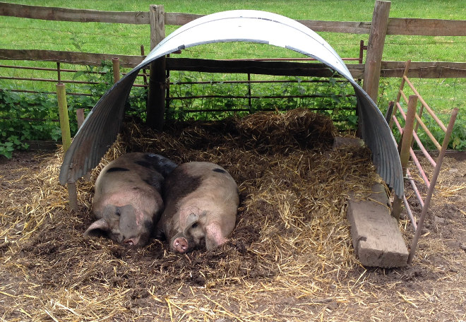 Windmill Hill City Farm pigs cr Judy Darley