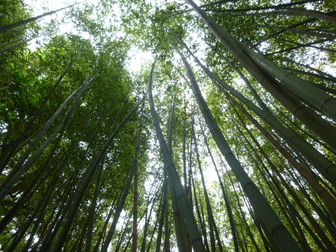 Bamboo forest by Judy Darley