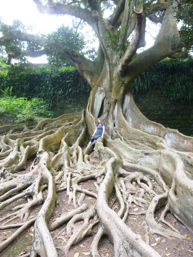 Ficus Macrophyla Australia cr Judy Darley