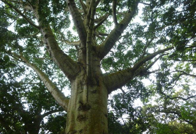 Jardim Botanico Jose do Canto tree cr Judy Darley
