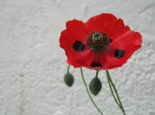 Red poppy by Judy Darley