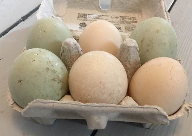 Duck eggs cr Judy Darley