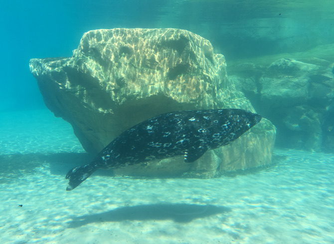 Lincoln Park Zoo Harbour Seal. Photo by Judy Darley