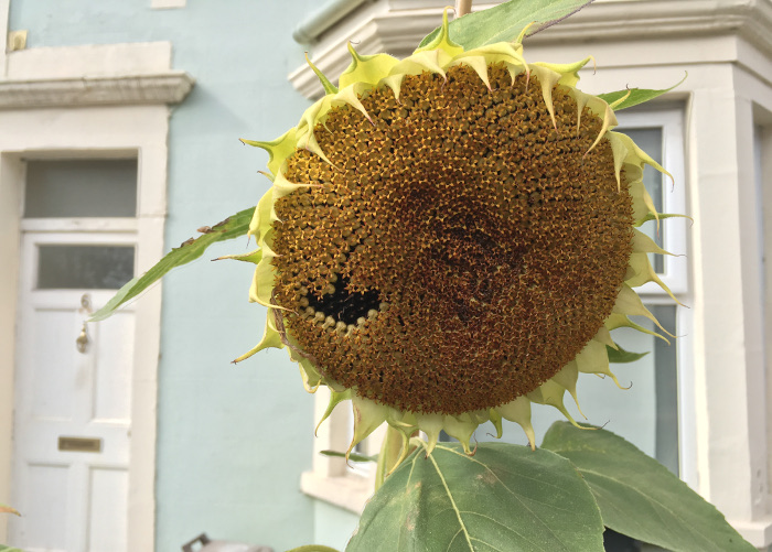 Sunflower by Judy Darley