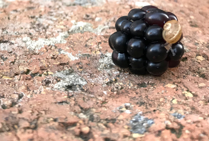 Snail and blackberry