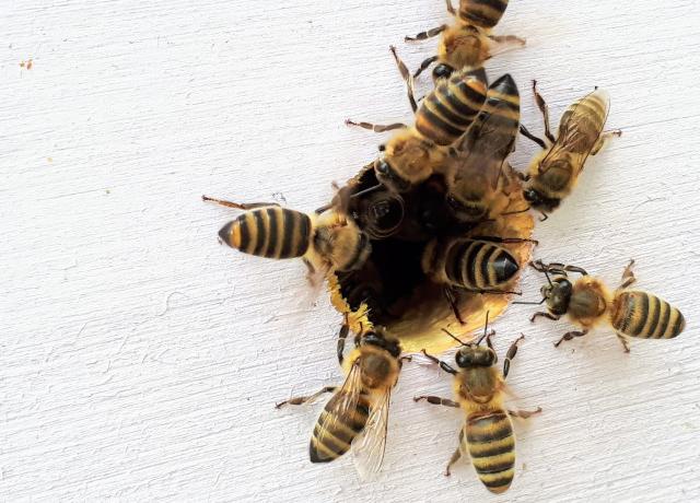 Bees_MIR_darley