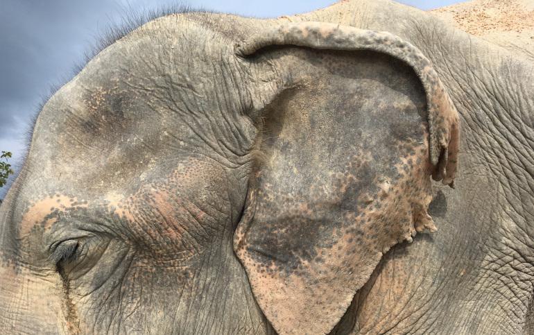 Elephant, Thailand. By Judy Darley