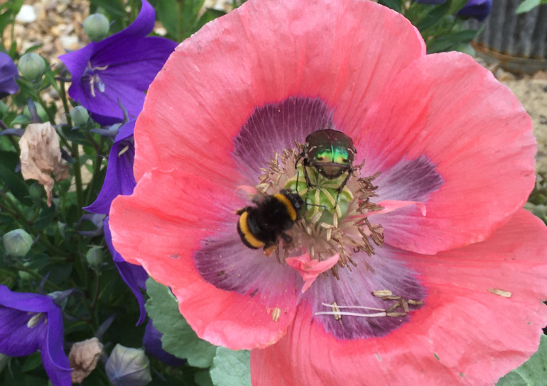 Bee, beetle, poppy by Judy Darley