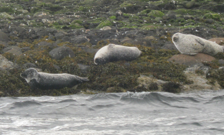 Seals near Mull, Scotland by Judy Darley