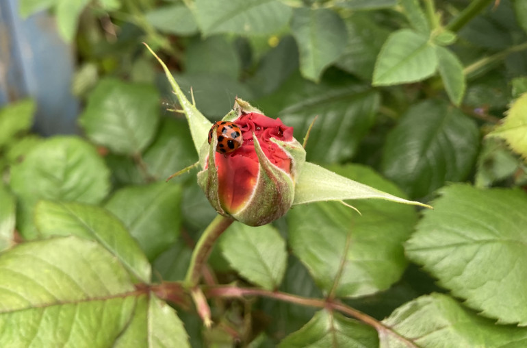 Red ladybird on a red rosebud. Photo by Judy Darley