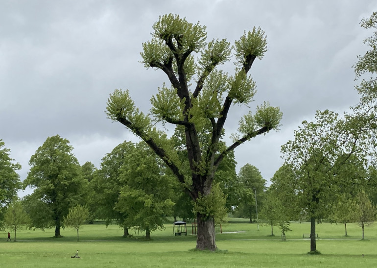 Victoria Park Black Poplar. By Judy Darley
