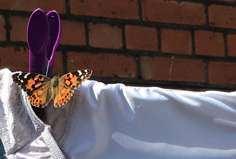 Tortoiseshell butterfly sunning itself on a pair of white satin knickers by Judy Darley