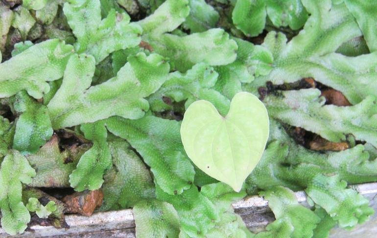 Heart leaf by Judy Darley